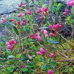 Mount Monroe, NH.  Pale Laurel, Kalmia polifolia, also known as bog laurel, on the tundra below Mount Monroe in New Hampshire's White Mountains.