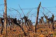 Chateau Rives-Blanques. Limoux. Languedoc. Vines trained in Guyot cane pruning. Chardonnay grape vine variety. France. Europe. Vineyard.