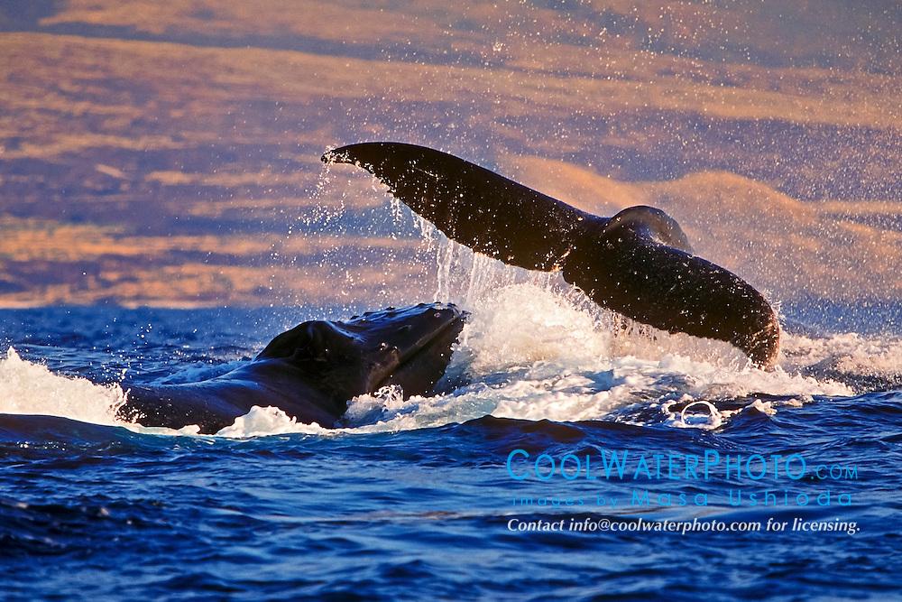 humpback whales, Megaptera novaeangliae, in rowdy heat run, female whale throwing caudal peduncle toward lunging male, Hawaii, USA, Pacific Ocean