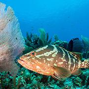 Nassau grouper (Epinephelus striatus) are important predators on coral reefs.
