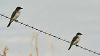 Eastern Kingbird (Tyrannus tyrannus). Crystal Springs Waterfowl Production Area. Image taken with a Nikon D700 camera and 80-400 mm VR lens.