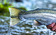 This hatchery bred steelhead is bright silver having just returned from the sea.