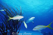 Caribbean reef shark, Carcharhinus perezi, and yellowtail snappers, New Providence, Tongue of the Ocean, near Nassau, Bahamas ( Western Atlantic Ocean )