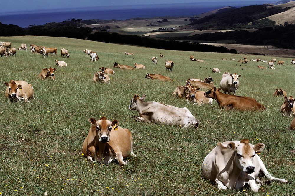 Allen Evan's dairy cattle, Lavers Hill, Victoria, Australia. near Dinosaur Cove, Victoria, Australia.
