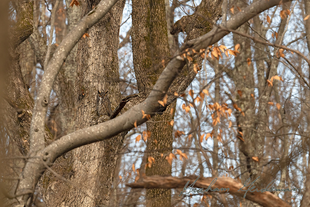 Great Horned Owl Camouflaged Against Tree in Nashville, TN.