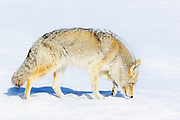 A coyote (Canis latrans) sniffs to detect food beneath the snow on the Blacktail Plateau in Yellowstone National Park, Wyoming.