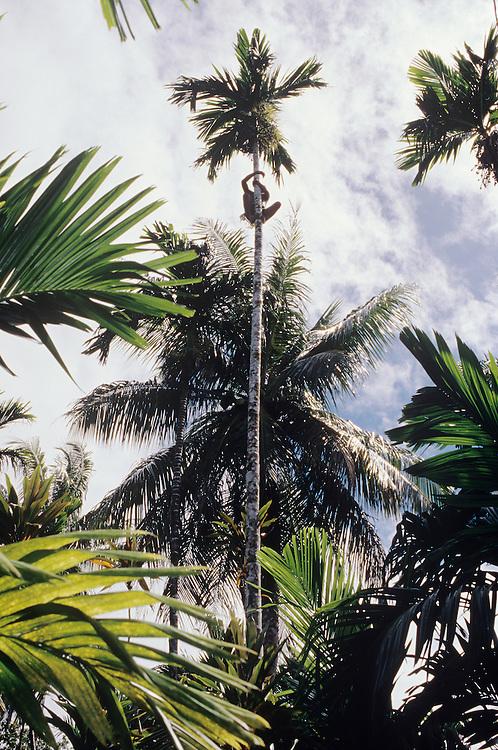 Beetlenut tree harvest by John Genong tree climber, wearing Kefar, using Gabing on feet, Yap, Wa`ab, Waqab, Federated States of Micronesia, islands in the Caroline Islands