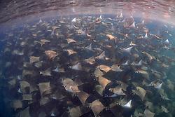 A massive school of munk mobulas, Mobula munkiana, wings along just below the surface. Magdalena Bay, Pacific Ocean, Mexico