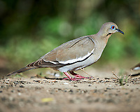 White-winged Dove (Zenaida asiatica). Campos Viejos, Texas. Image taken with a Nikon D4 camera and 500 mm f/4 VR lens.