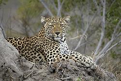 July 7, 2015 - Leopard, female, Sabi Sand Game Reserve, South Africa  (Credit Image: © Tuns/DPA/ZUMA Wire)