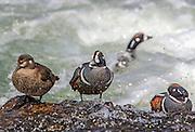 Harlequin ducks in rapid water habitat.