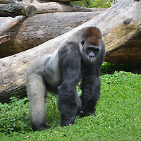 Gorilla at the Pittsburgh Zoo