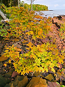 Maple leaves turn from green to yellow orange in late September, against a backdrop of fractured bedrock along the Lake Superior shoreline in Porcupine Mountains Wilderness State Park, Michigan, USA. The park was established in 1945 to protect the last large stand of uncut hardwood-hemlock forest remaining in the Midwest.