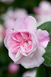 Rosa 'Fantin Latour'