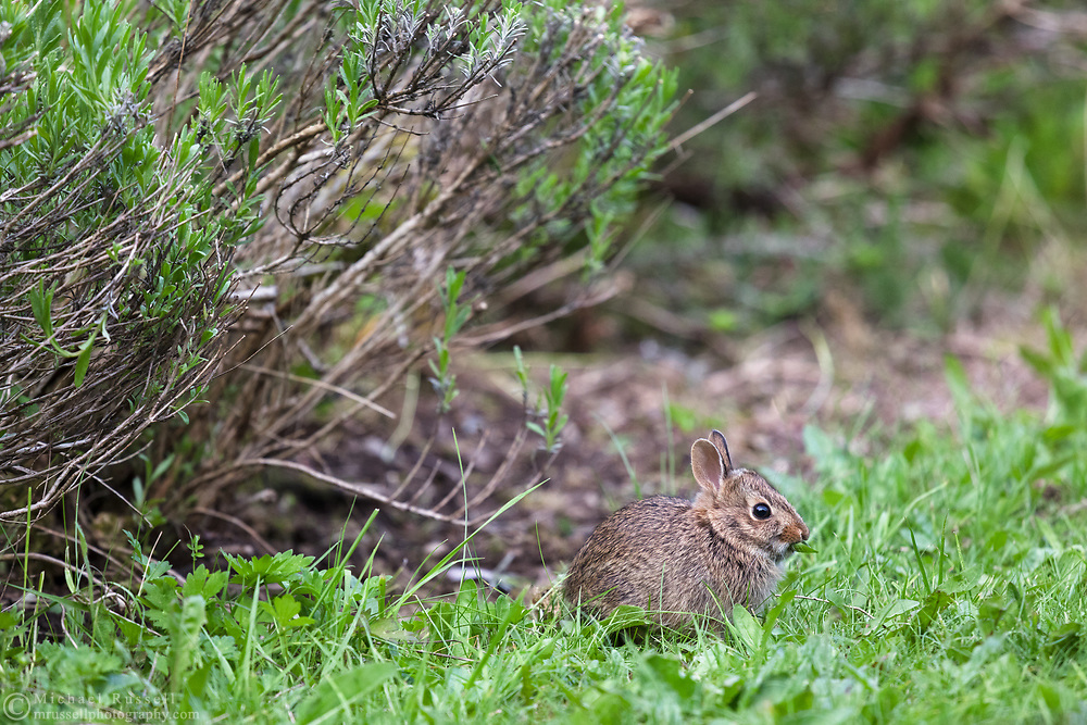 A baby Eastern Cottontail (Sylvilagus floridanus) eating the dandelion leaves in a backyard garden.  The adults can be approximately 44cm (17 in) long, but this little one was only about 15cm (6 in).