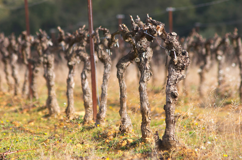 Domaine Alain Chabanon, previously Font Caude, in the Lagamas village. Montpeyroux. Languedoc. Vines trained in Cordon royat pruning. France. Europe. Vineyard.
