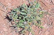 Thistle in dry desert earth.