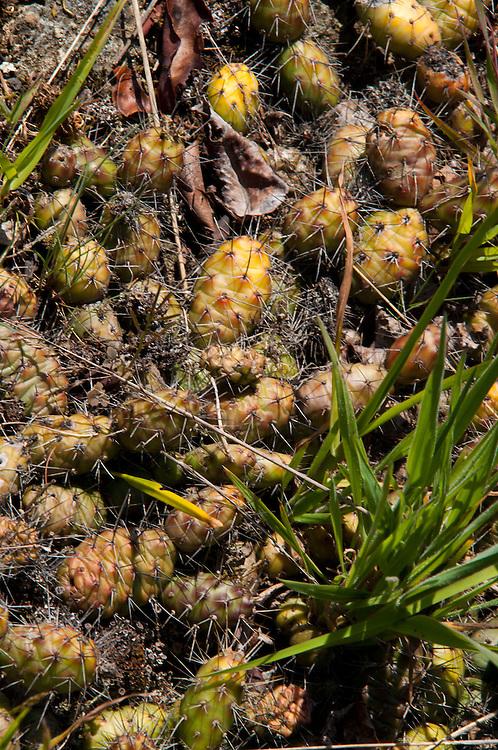 Brittle Prickly Pear Cactus (Opuntia fragilis), Yellow Island, San Juan Islands, Washington, US