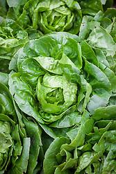 Lettuce 'Little Gem Maureen'. Lactuca sativa