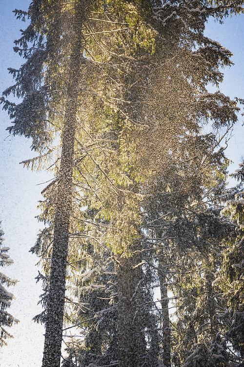 Sun shines through as powdery snow falls from spruce tree (Picea abies) on snowy winter day in boreal forests, Kemeri National Park (Ķemeru Nacionālais parks), Latvia Ⓒ Davis Ulands | davisulands.com