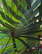 Saw-Palmetto, Seronoa repens, leaves, Apalachicola National Forest, Florida.