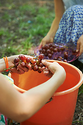 Group of friends washing red grapes in bucket of water at picnic, Munich, Bavaria, Germany
