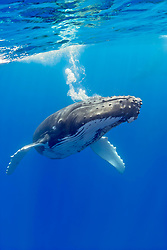 humpback whale, Megaptera novaeangliae, blowing underwater, Hawaii, USA, Pacific Ocean