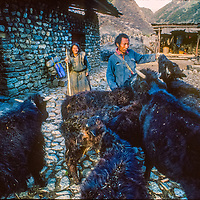 A farmer and his mother tend cattle in Kyikar village at the upstream end of the Tsangpo River Gorge, one of the world's deepest canyons, in the Himalaya of eastern Tibet, China.