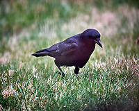 Black Crow. Image taken with a Nikon D5 camera and 600 mm f/4 VR lens (ISO 1600, 600 mm, f/4, 1/500 sec).