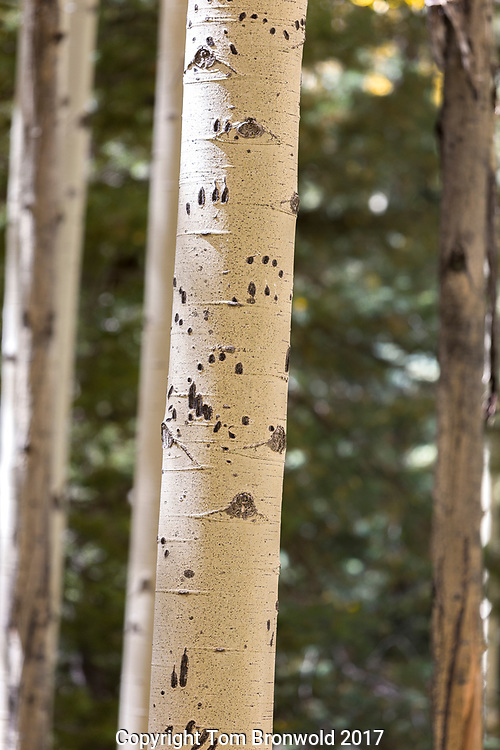 An Aspen tree that waa climbed up by a black bear in the forest on the san Francisco peaks on the Arizona trail.