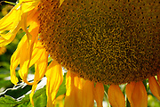 Close up of a flowering yellow sunflower in an agricultural field. Photographed in Israel in June
