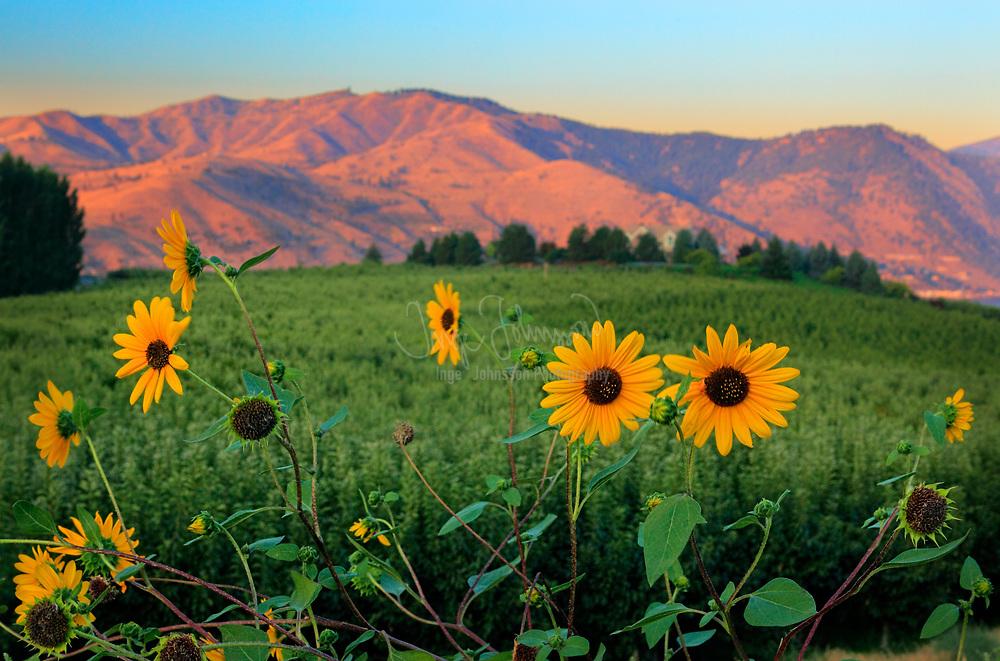 Sunflowers near Lake Chelan in eastern Washington state