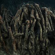 Long Lake, part of Ngeruktabel Island in Palau, is home to a variety of plant life, including a dense forest of mangrove trees. Pictured here is a portion of the thick, intertwined network of Bruguiera gymnorrhiza mangrove prop roots that are submerged during high tide, but partially exposed during lower tides. These roots are key to the survival of the trees, but also serve as shelter for juvenile fish and other marine animals. The intricate network of roots also stablize and lock-in silt and mud, providing a buffer against erosion.