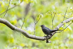 Grey Catbird (Dumetella carolinensis)