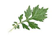 Mugwort - Artemisia vulgaris