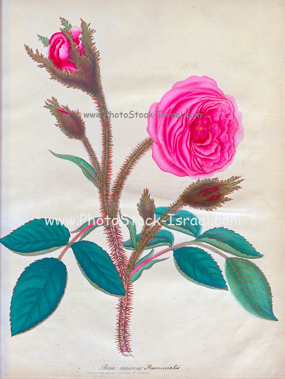 ROSA muscosa, Provincialis. Moss Province Rose From the book Roses, or, A monograph of the genus Rosa : containing coloured figures of all the known species and beautiful varieties, drawn, engraved, described, and coloured, from living plants. by Andrews, Henry Charles, Published in London : printed by R. Taylor and Co. ; 1805.