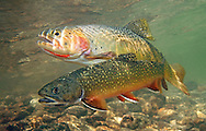 Brook Trout (with Yellowstone Cutthroat)<br /> <br /> Patrick Clayton/Engbretson Underwater Photography