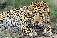Roaring territorial male leopard (Panthera pardus) from the Inyati Private Game Reserve in the west of the Kruger National Park, South Africa<br /> <br /> Bruellender maennlicher Leopard (Panthera pardus) aus dem Inyati Private Game Reserve im Westen des Krueger Nationalparks zu Beginn der Regenzeit im November