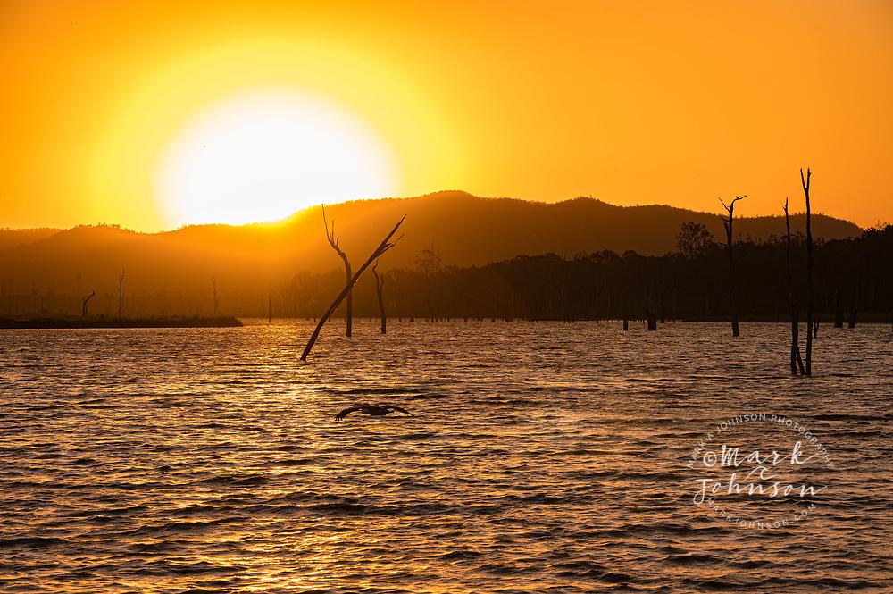 An Australian Pelican flying over Lake Somerset, Queensland, Australia at sunset