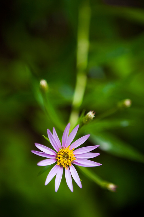 Purple flower growing along Monument Creek Trail, Okanogan National Forest, Washington.
