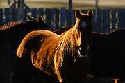Evening light on horses, Montana.