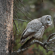 Great Gray Owl (Strix nebulosa) individual hunting near the south entrance of Yellowstone National Park during the fall.