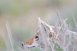 Stalking Coyote in stealthily moves through the Sage in Yellowstone National.