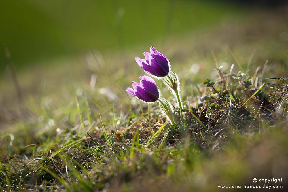 Pasque Flower growing wild on Therfield Heath, Hertfordshire. Pulsatilla vulgaris