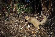 An indian mongoose (Herpestes auropunctatus) , an invasive non-native predator, eating native ground nesting bird eggs on the Hawaiian Island of Muai.