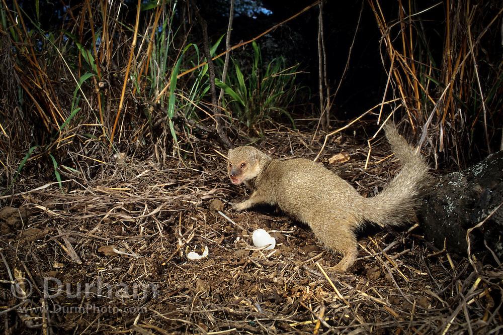 An indian mongoose (Herpestes auropunctatus) , an invasive non-native predator, eating native ground nesting bird eggs on the Hawaiian Island of Muai.