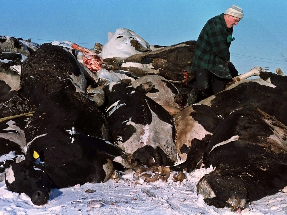 Patrick Groulx piles up some of the cows that were killed in last week's ice storm that hit St. Albert, Ontario, 60 kms east of Ottawa January 14. Some of the cows were electrocuted by generators and some died of pneumonia. Tens of thousands of households in rural eastern Ontario are still without power, and some may have to wait two weeks or more to have it restored.  REUTERS/Jim Young
