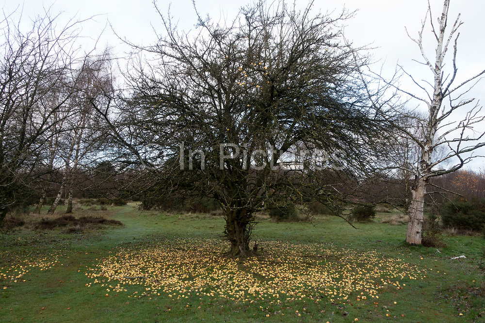 Autumn scene with fallen crab apples at the base of a tree in Sutton Park in Sutton Coldfield, Birmingham, United Kingdom. (photo by Mike Kemp/In PIctures via Getty Images)