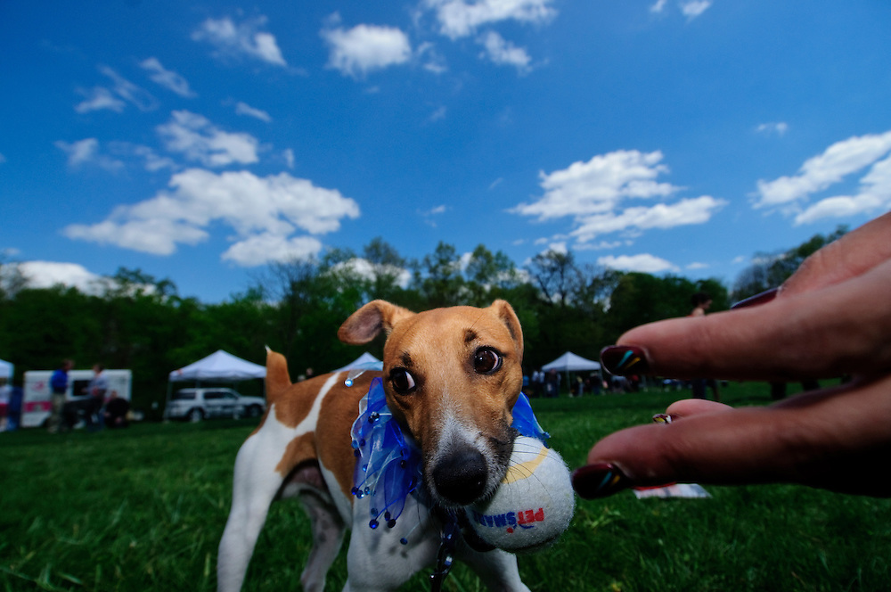 (staff photo by Matt Roth)..Deneen Craves, from Elkridge, pulls her fingers away after giving a ball to her dog Ace Windu (an homage to the Star Wars character Mace Windu) during the Columbia Association's first Welcome Event of the year, Dog Day Afternoon held at Hopewell Park in  Columbia Saturday, April 17, 2010..