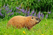 Hoary Marmot at Creamer's Field in Fairbanks, Alaska
